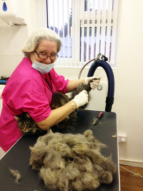 Della Cassidy attending a Foundation Course at the Cat Grooming School